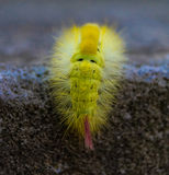 Bright furry caterpillar Royalty Free Stock Photography