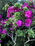 Bright fuschia colored azalea stock photography