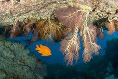 Bright Garibaldi Fish at Catalina Island Royalty Free Stock Photography