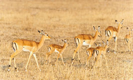 Bright gazelles Royalty Free Stock Photos