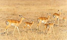 Bright gazelles Royalty Free Stock Photos