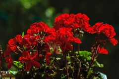 Bright Geranium flowers. Bright red geranium flowers on a dark green background. Focus on located on foreground colors royalty free stock images