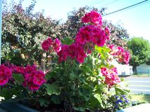 Bright Geraniums in the planter royalty free stock image