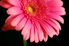 Bright Gerber Daisy Royalty Free Stock Images