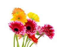Bright gerber flowers Stock Photos
