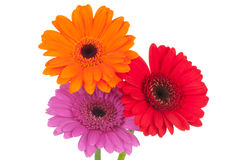 Bright gerber flowers Royalty Free Stock Photography