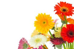 Bright gerber flowers Stock Images