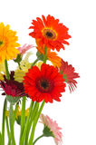 Bright gerber flowers Royalty Free Stock Photos
