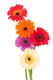 Bright gerber flowers Stock Image