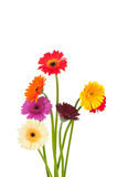 Bright gerber flowers Royalty Free Stock Image