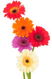 Bright gerber flowers Royalty Free Stock Photo