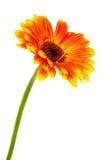 Bright gerbera Stock Image