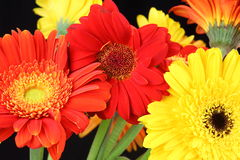 Gerbera flowers variety Royalty Free Stock Photography