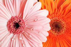 Bright gerbera flowers royalty free stock photos