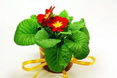 Bright gift. Room Primrose flower with bright red petals, bright yellow stamens and yellow festive ribbon. Potted plant on a white background Stock Photos
