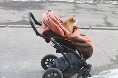 Baby cat. Bright ginger color cat sit in baby stroller royalty free stock images