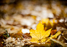 Bright gloden autumn maple leafs Royalty Free Stock Photos