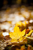 Bright gloden autumn maple leafs Royalty Free Stock Images