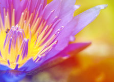 Bright glowing Close-up bloosom blue lotus. This picture could be use in the florist industry Royalty Free Stock Photo