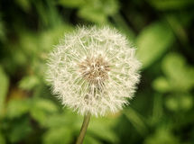 Bright glowing dandelion clock on a green background Stock Images