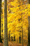 Bright gold fall foilage on tr. Bright yellow  leaves on trees in a woods Stock Images