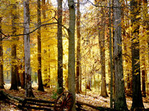 Bright gold fall foilage on tr. Bright yellow  leaves on trees in a woods Royalty Free Stock Photos