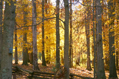 Bright gold fall foilage on tr. Bright yellow  leaves on trees in a woods Royalty Free Stock Photography