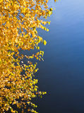 Bright gold leaves of a birch Stock Photography