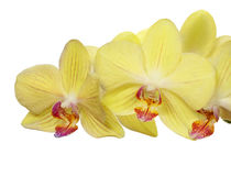 Bright gold orchid flowers isolated on white Royalty Free Stock Image