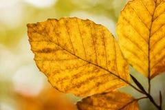 Bright golden beech tree leaf in Autumn sunshine Stock Photography