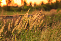 Bright golden grass flower beside railroad in sunset Stock Photography