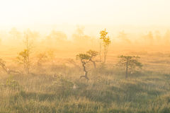 A bright, golden landscape of a marsh after the sunrise. Bright, white light pouring over the scenery. Beautiful swamp in Northern Europe Royalty Free Stock Photo