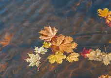 Bright golden maple leaves floating in the river. Golden autumn royalty free stock photography