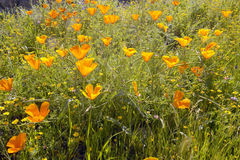 Bright golden poppies Stock Photo