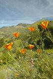 Bright golden poppies Royalty Free Stock Photography