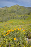 Bright golden poppies and the green spring hills of Figueroa Mountain near Santa Ynez and Los Olivos, CA Royalty Free Stock Image