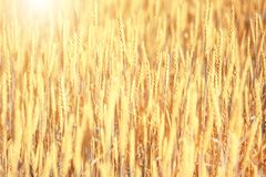 Bright golden rye field with selective focus. On the ears stock image
