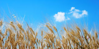 Bright golden wheat royalty free stock images