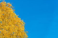 Bright Golden-yellow birch leaves. Royalty Free Stock Images