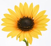 A bright golden yellow Sunflower. An up close view of a bright golden yellow Sunflower stock photos