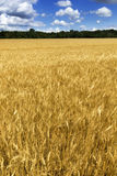 Bright Golden Yellow Wheat Field Under Deep Blue S Stock Photography