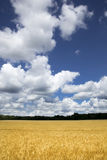 Bright Golden Yellow Wheat Field Under Deep Blue S Royalty Free Stock Photos
