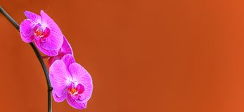 Beautiful phalaenopsis or moth orchids background royalty free stock photo