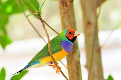Bright Gouldian finch Royalty Free Stock Images