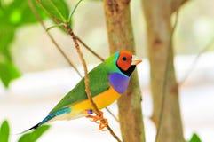 Bright Gouldian finch