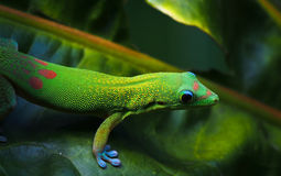 Bright Greed Day Gecko on Tropical Leaf in Hawaii. A common gold dust day gecko with its bright green color and red and blue spots is a common sight in tropical Stock Photography