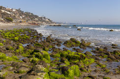 Bright green algae on the rocks of a southern california beach. Royalty Free Stock Images