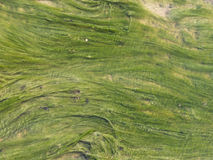Bright green algae in the water. Background of green bright algae in clear water stock images