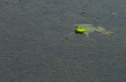 Bright green American bullfrog. A bright green American bullfrog floats at the surface of a pond stock images