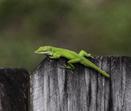 Bright Green Anole on Wood Fence. Bright green anole with piece of tail missing sitting and staring on wood fence against a green and brown blurred background stock images